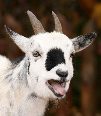 goat trump